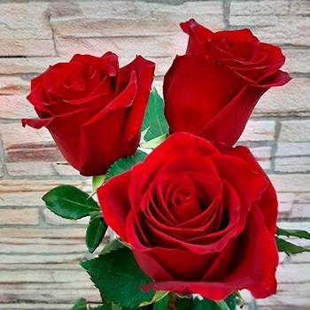 Роза одноголовая