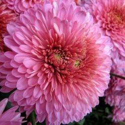 Хризантема Склад-Цветы.рф