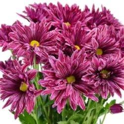 Хризантема кустовая Склад-Цветы.рф