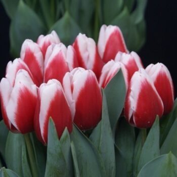 Тюльпаны в магазине Склад-Цветы.рф