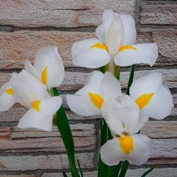 Ирис Склад-Цветы.рф